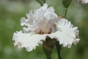 tall bearded iris flower 316