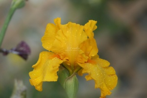 tall bearded iris flowers 110
