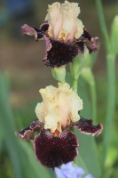tall bearded iris flowers 112