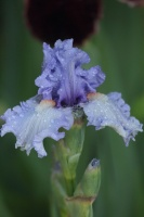 tall bearded iris flowers 115