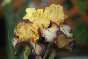 tall bearded iris flowers 122