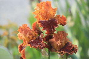 tall bearded iris flowers 123