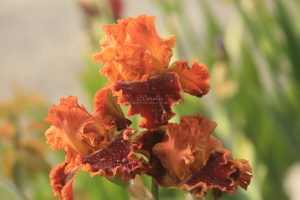 tall bearded iris flowers 125