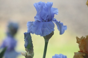 tall bearded iris flowers 173