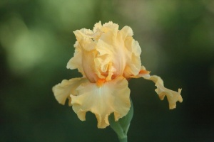 tall bearded iris flowers 178