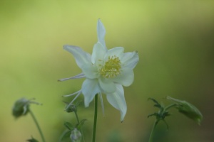 white columbine flower 056