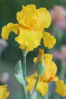 yellow bearded iris flower 024