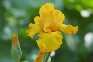 yellow tall bearded iris flower 021