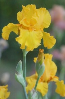 yellow tall bearded iris flower 023