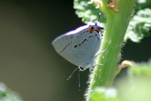 1 Gray Hairstreak Butterfly laying eggs 016