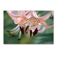 bloom of the lily flower postcards package of 8