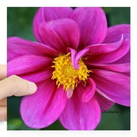 dahlia flower bloom sticker