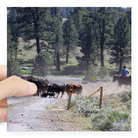 cattle drive sticker