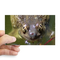spadefoot toad sticker2