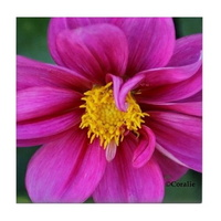 dahlia flower bloom tile coaster