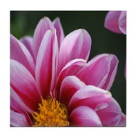 the beauty of the dahlia flower tile coaster