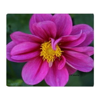 dahlia flower bloom throw blanket