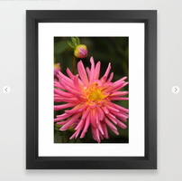 dahlia flower in the flower bed Framed Art Print