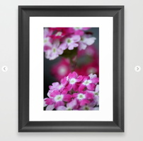 Pink White Verbena Flowers Framed Art Print