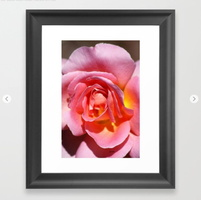 Pink Yellow Rose Flower Framed Art Print