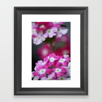 pink-white-verbena-flowers-framed-prints